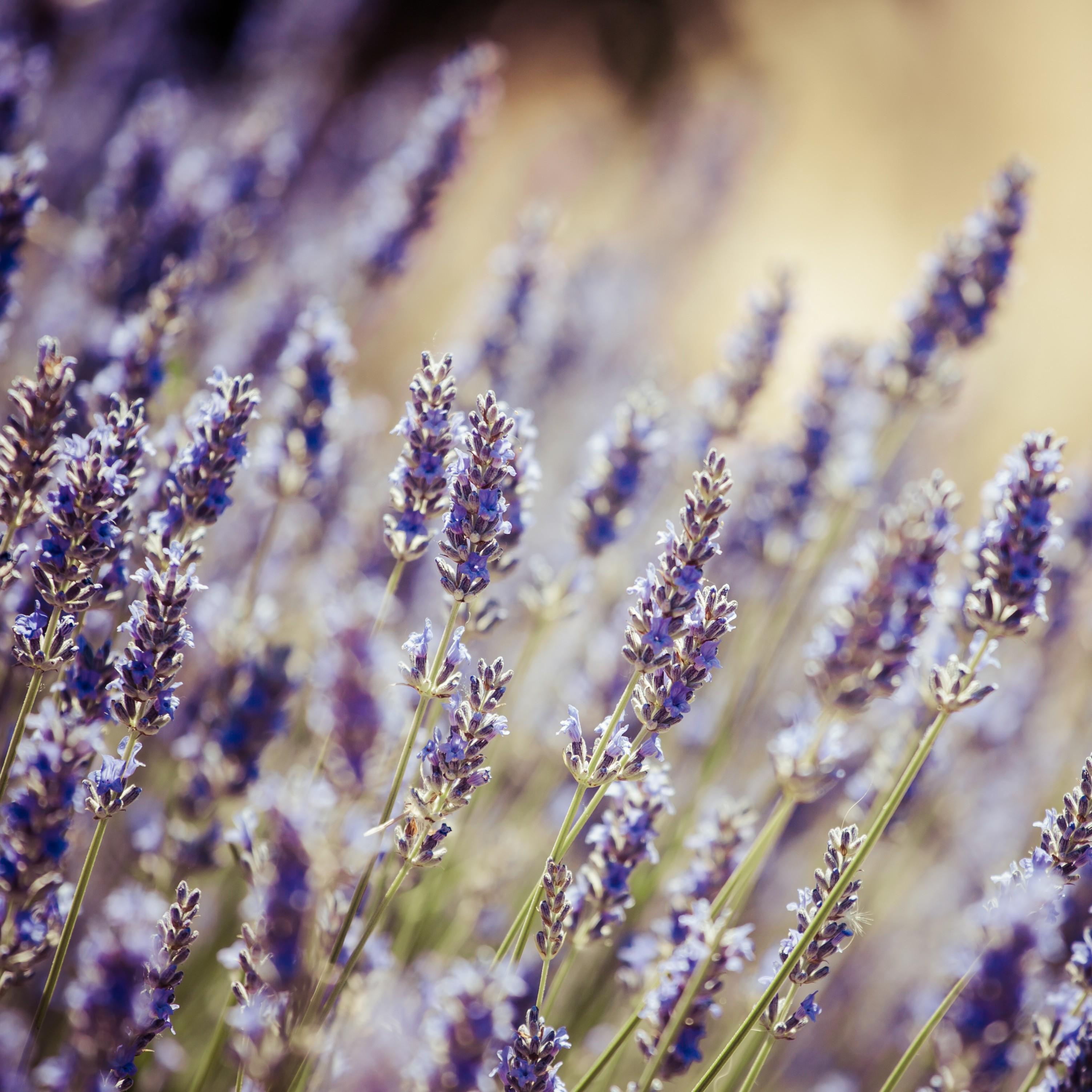 NancyMeijs-Lavendel