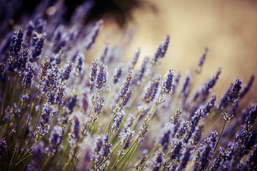 Beautiful Detail Of A Lavender Field.